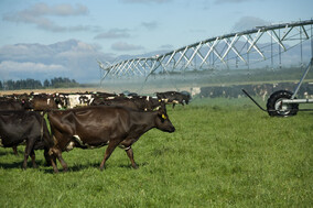 farming, farm, group, milk, solids, the Awamutu, Waikato, Canterbury, dairy, cows, family, Hayes road grazing ltd